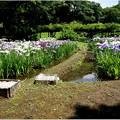 Photos: 小石川庭園あやめ祭り より 其の参