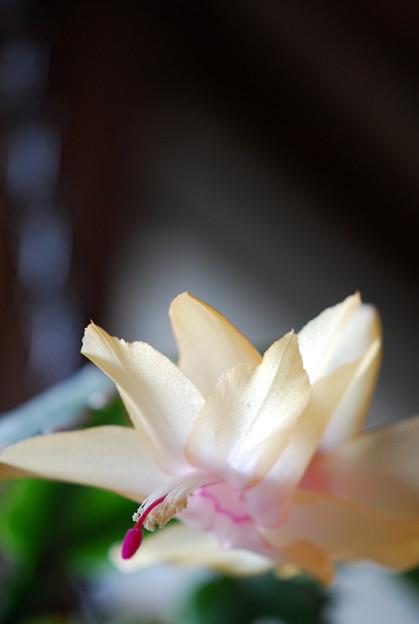 My Crab Cactus 2011