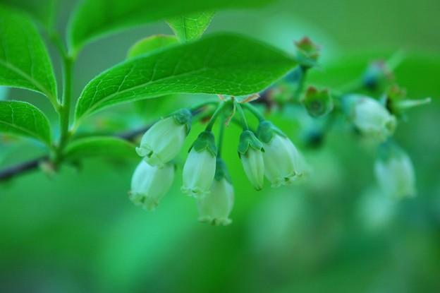 High Bush Blueberry 6-4-15