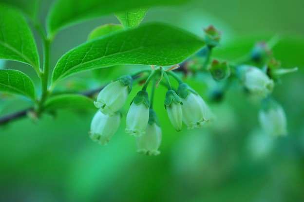 High Bush Blueberry 6-4-15