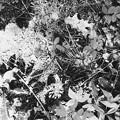 Wild Sarsaparilla II 6-6-15