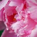 Pink Peony II 6-24-15