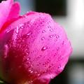 Hot Pink Peony 6-24-15