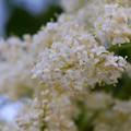 Japanese Tree Lilac II 6-27-15