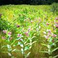 Milkweed Field II 7-19-15