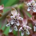 Milkweed I 7-19-15
