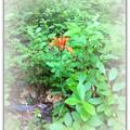 写真: Wood Lily 7-21-15