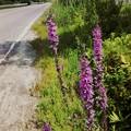 Purple Loosestrife II 8-8-15