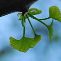 写真: Baby Ginkgo 5-13-11