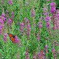 写真: Monarch Butterfly 8-14-11