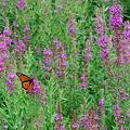 写真: Monarch Butterfly 8-14-11
