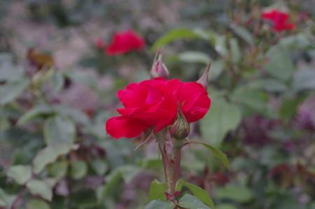 種松山公園の赤いバラ