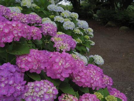 種松山の紫陽花