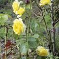 半田山植物園のバラ ファルツゥアゴールド