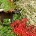 ヒガンバナの咲く散歩道