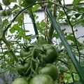 Photos: フルティカトマトも大きくなる