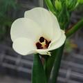 Photos: オクラの花