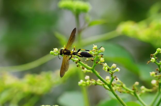 アメリカジガバチ3