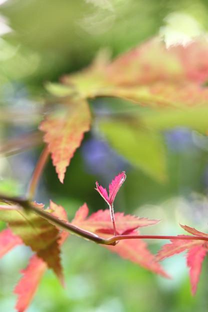 芽吹く紅葉