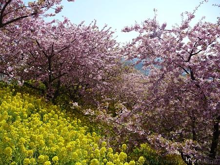 120329-松田山 河津桜 (102)