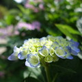Photos: 花の寺 三室戸寺の入り口に咲いていた紫陽花