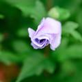 高田公園の花の蕾