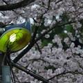 電燈と夜明け前の桜