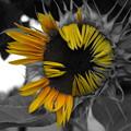 向日葵の開花