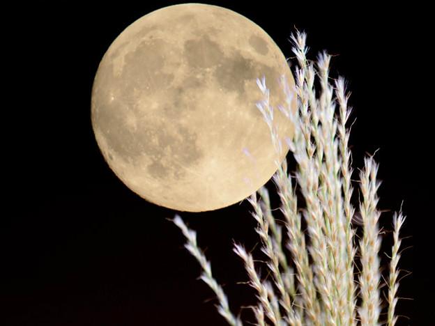 中秋の名月とすすき