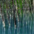 蒼い池の枯木立