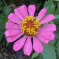 Photos: 百日草の花は割りと好き。かわいいくせにしぶといところがww次のアイ...