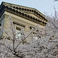 Photos: 大阪府立図書館と桜