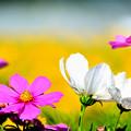 写真: コスモスの花