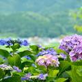 写真: 紫陽花と街