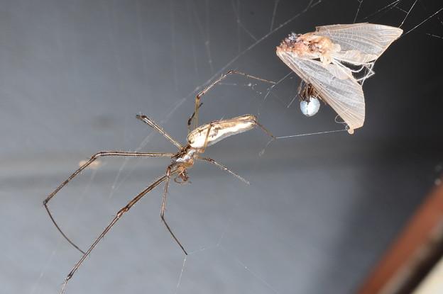 アシナガグモとシロカネイソウロウグモ