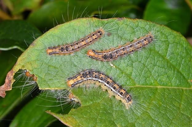 チャドクガ幼虫