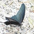 山麓で見かけた蝶  2