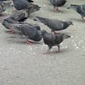 餌にむらがるハト  2
