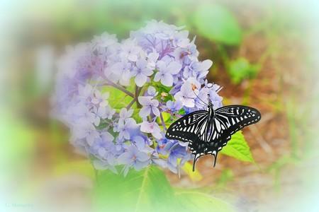 紫陽花にも蜜がある?