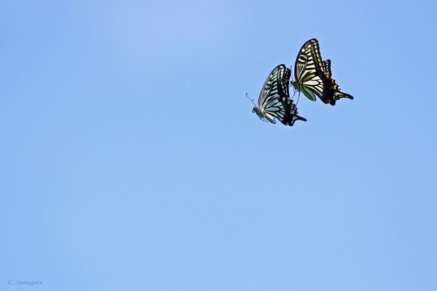 植物園の蝶たち・ナミアゲハズ。