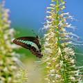 植物園の蝶たち・アオスジアゲハ。