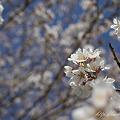写真: 春の訪れ NEX-5 E30M35