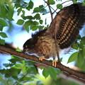 アオバズク幼鳥-7