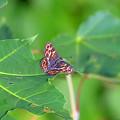 サカハチチョウ春型(豊平峡)
