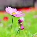 咲き始めたコスモス