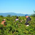 バラの花摘み、ブルガリア Rose-picking in Bulgaria