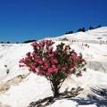 写真: パムッカレ石灰棚の花 Travertine terrace & Flowering tree