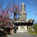 ふる里は花ぞ昔の香に匂ひける Plum blossoms blooming