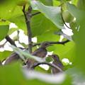 Photos: ヒヨドリの幼鳥