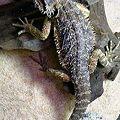 写真: フトアゴヒゲトカゲ。 手足...